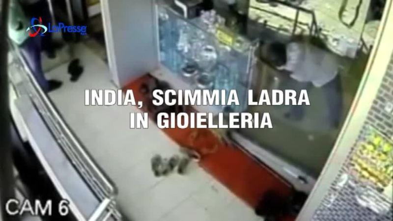 INDIA, SCIMMIA LADRA IN GIOIELLERIA